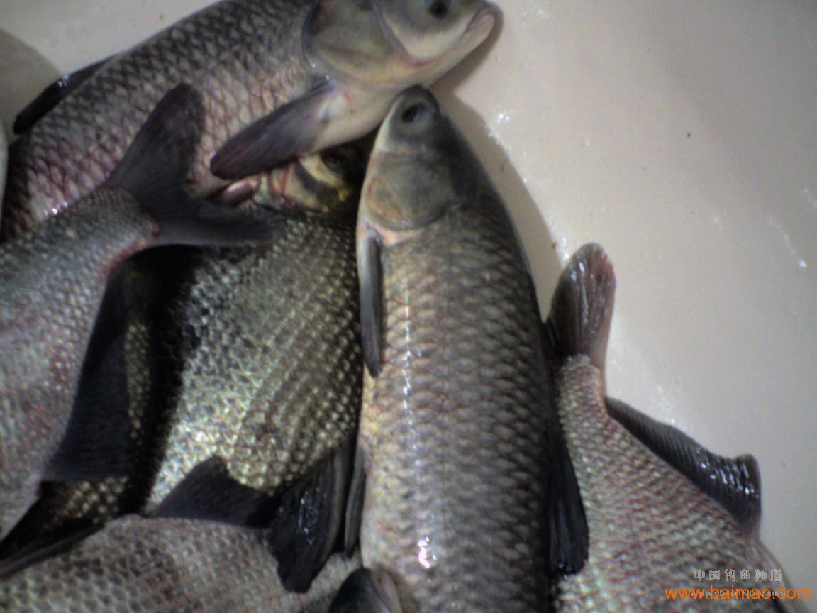 v鲤鱼各种淡水鱼鲤鱼,草鱼,成鱼,鱼苗,尿酸,方鱼鲫鱼高的人能吃荷兰豆吗图片