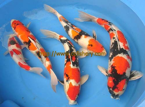4 www jxzhlyw com for Japanese ornamental fish