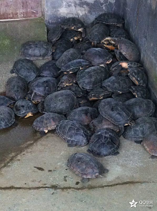 石龟苗种价格