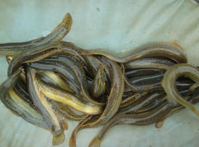 泥鳅孵化技术专业培训