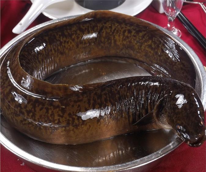 花鳗鱼照片_广东江门供应各种规格花锦鳝_鳗鱼价格_中国水产养殖网