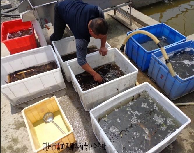 v价格价格繁殖的水产苗_人工泥鳅_中国泥鳅养hba图解图片