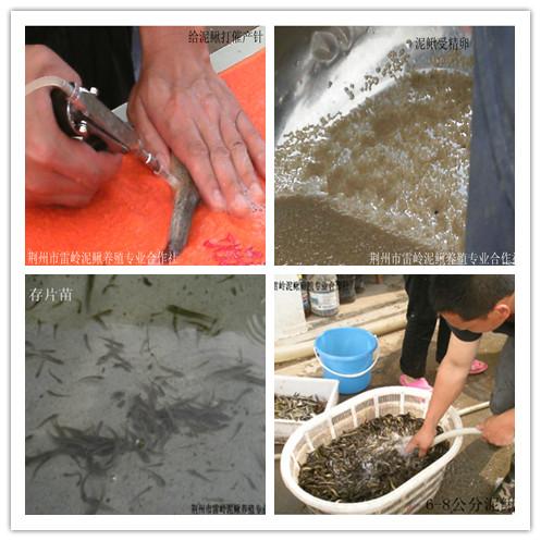 泥鳅苗孵化繁育技术培训