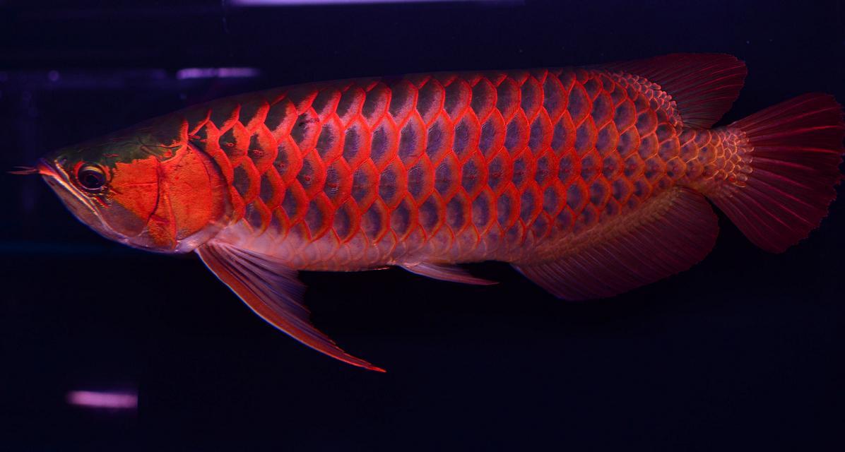纯种印尼红金龙_龙鱼价格_中国水产养殖网