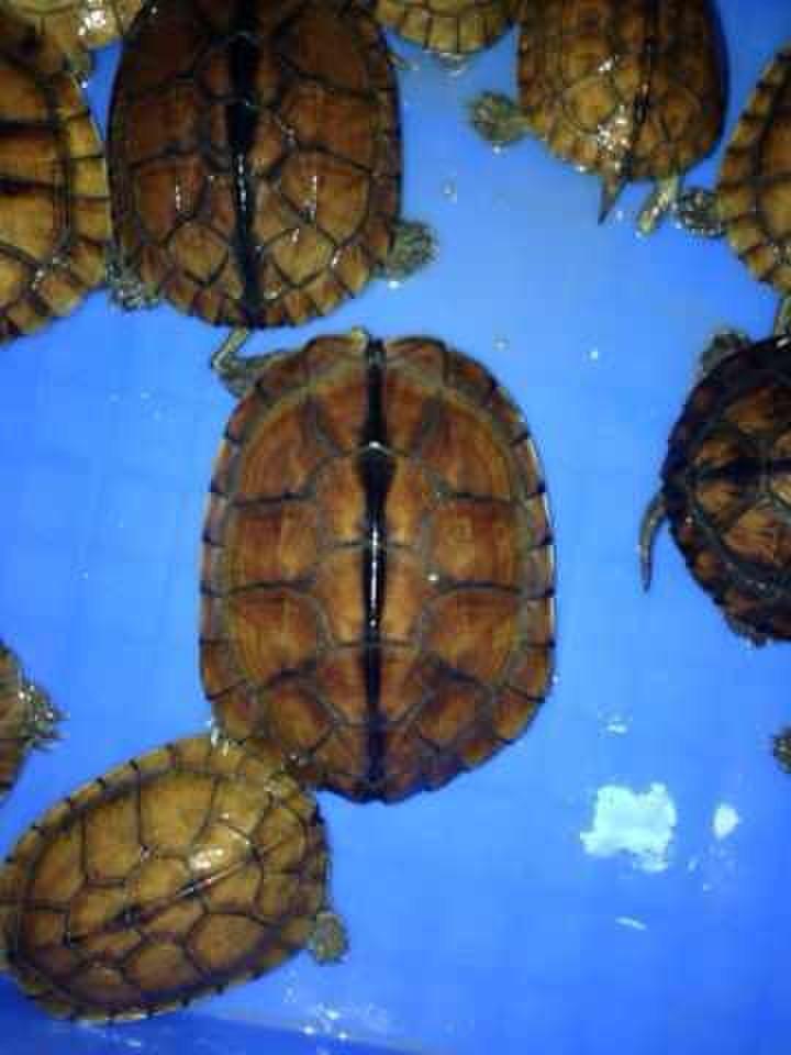 石龟黄喉拟水龟价格