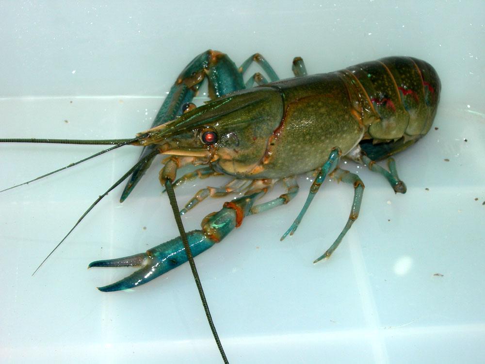 节肢动物 虾 澳洲淡水小龙虾_节肢动物 虾 澳洲淡水小龙虾