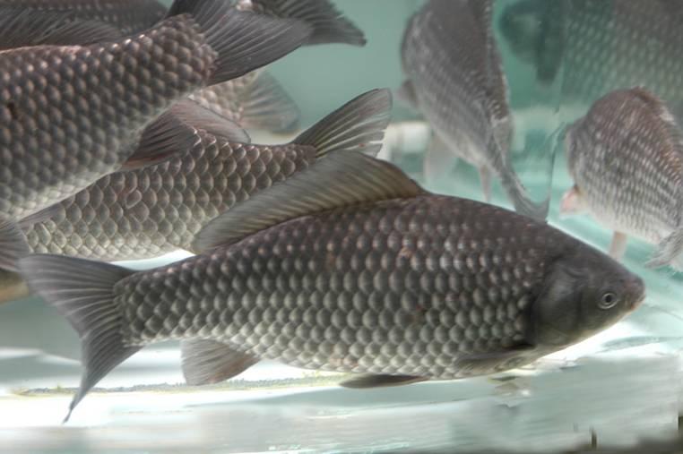 【草鱼】草鱼的俗称有:鲩鱼,油鲩,草鲩,白鲩,草根,混子等。栖息于平原地区的江河湖泊,一般喜居于水的中下层和近岸多草区域。性活泼,游泳迅速,常成群觅食,为典型的草食性鱼类。在干流或湖泊的深处越冬,生殖季节亲鱼有溯游习性。因生长速度快,饲料来原广,是目前淡水养殖的四大家鱼之一。草鱼具有河湖洄游的习性,性成熟的个体在江河,湖泊,水库等流水中产卵,产卵后的亲鱼和幼鱼进入支流及通江湖泊中,通常在被水淹没的浅滩草地和泛水区域及支流湖泊,小河,港道等水草丛生处觅食。冬季则在干流湖泊的深水处越冬。草鱼性贪食,鱼苗阶段摄