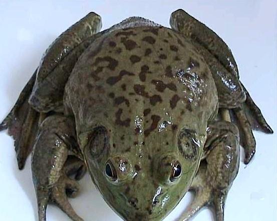 牛蛙化州养殖场现有大量成年牛蛙,美蛙。现在这些牛蛙,美蛙大小刚好适合食用,欢迎收购商和零售商来电咨询,陈先生00000000,地址:广东茂名化州市。 牛蛙(牛蛙-一种蛙科动物)编辑蛙科(Ranidae,即赤蛙科)动物,学名Rana catesbeiana。独居的水栖蛙,因其叫声大且宏亮酷似牛叫而得名,故名牛蛙,为北美最大的蛙类。 原产地 牛蛙原产于北美落基山脉一带,1959年我国引进牛蛙驯养,1986年在我国中部和南部大量饲养。主要品种有:沼泽绿牛蛙、西方牛蛙、印尼牛蛙、非洲牛蛙、非洲大牛蛙等。[1] A