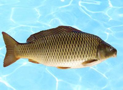 [供方]批发无鳞鲤鱼.各种淡水鱼,价格优惠