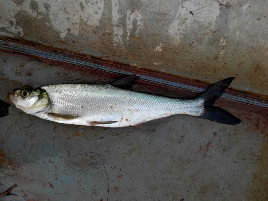 世界最大的鳝鱼_中国最大的翘嘴鱼-世界上最大的翘嘴/黄鳝会咬人吗/钓