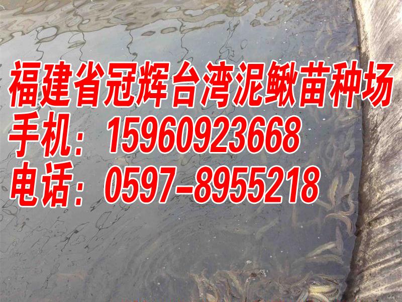 开始供应2017年台湾泥鳅苗