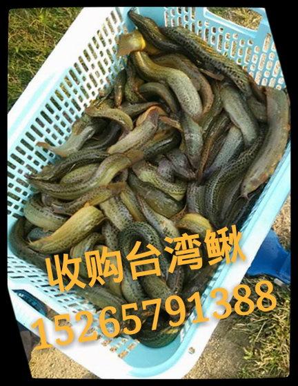 收购【台湾泥鳅】