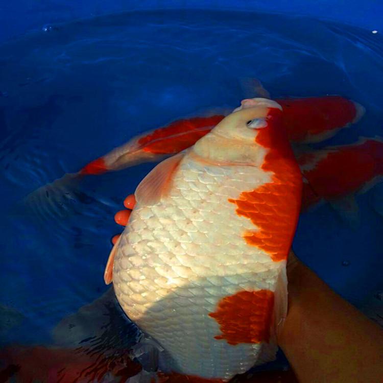 锦鲤鱼苗幼苗成长过程养殖记录