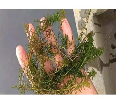 救草丹虾蟹塘水草烂根、叶茎腐烂、枯黄萎缩