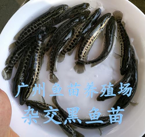 广东杂交黑鱼苗(乌鳢鱼苗)