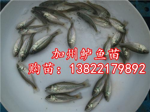 大量加州鲈鱼苗~广东淡水鱼苗场提供加州鲈鱼苗 加州鲈养殖技术