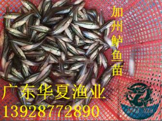 广东鲈鱼苗供应2018年热销产品加州鲈鱼苗/加州鲈鱼水花寸苗/鲈鱼苗批发