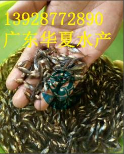 清远巴沙鱼苗/广东巴沙鱼苗热销/6月巴沙鱼苗批发