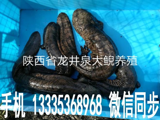 陕西娃娃鱼成鱼和娃娃鱼苗供应13335368968