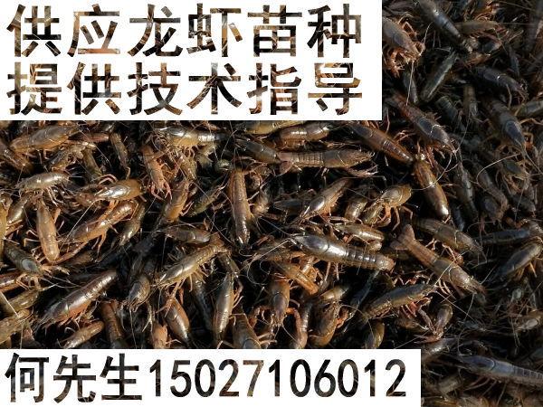 供应龙虾苗种、提供技术指导15027106012