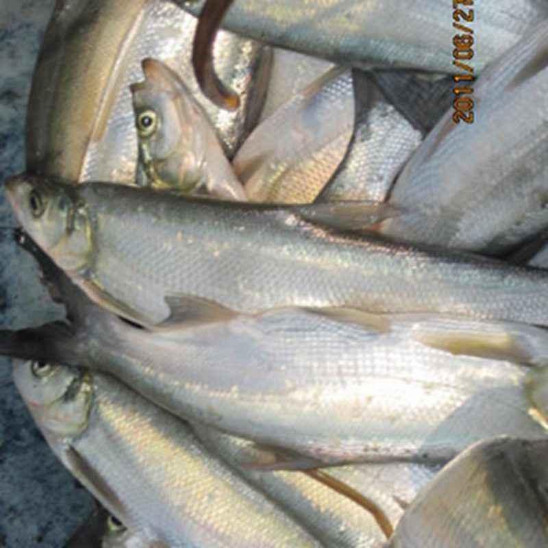 白方头鱼_供应万绿湖野生翘嘴白鱼_白条鱼价格_中国水产养殖网