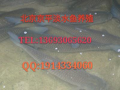 北京渔场大量供应鲫鱼草鱼鲤鱼胖头鱼