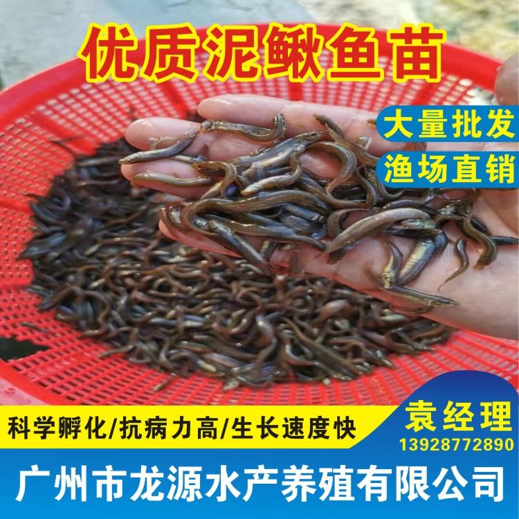 泥鳅苗淡水杂交泥鳅苗批发泥鳅苗养殖台湾泥鳅鱼苗批发