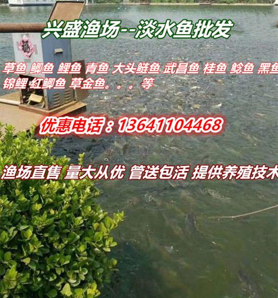 2020年草鱼/鲤鱼/鲫鱼/青鱼/武昌鱼/鲢鱼/桂鱼/鲈鱼/锦鲤苗批发