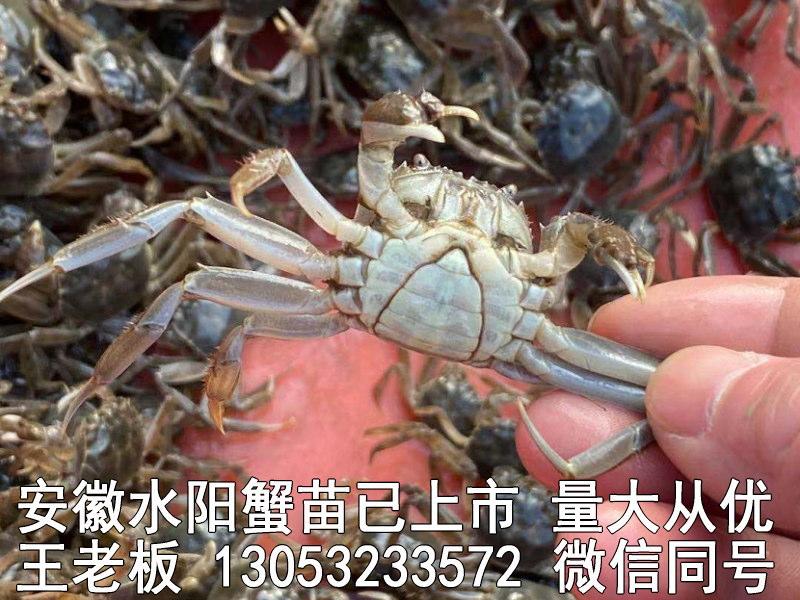 水阳蟹苗大量上市13053233572