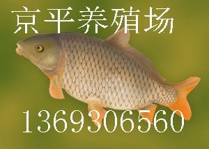 北京京平渔场大量供应河北天津草鱼,鲤鱼,鲫鱼,青鱼夏花鱼苗等垂钓用鱼