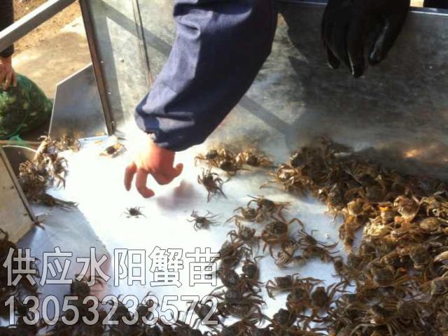 水阳蟹苗上市·欢迎订购13053233572