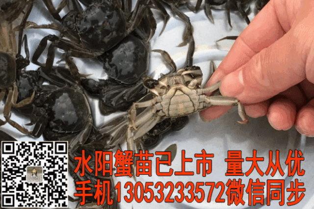 河蟹苗大量上市13053233572