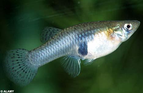 食物:小型无脊椎动物,蚊子幼体孑孓.