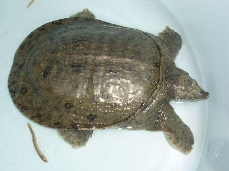 出售天然纯野生甲鱼图片