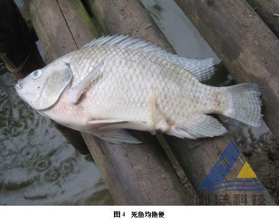 罗非鱼是什么鱼_败血症什么症状_败血症怎么治