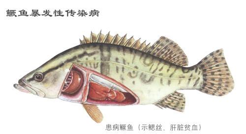 水产养殖贴士:桂花鱼养殖防病攻略