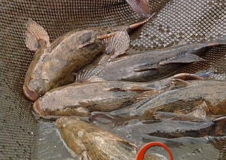 笋壳鱼必须把好四道关_笋壳鱼养殖技术_水产养殖