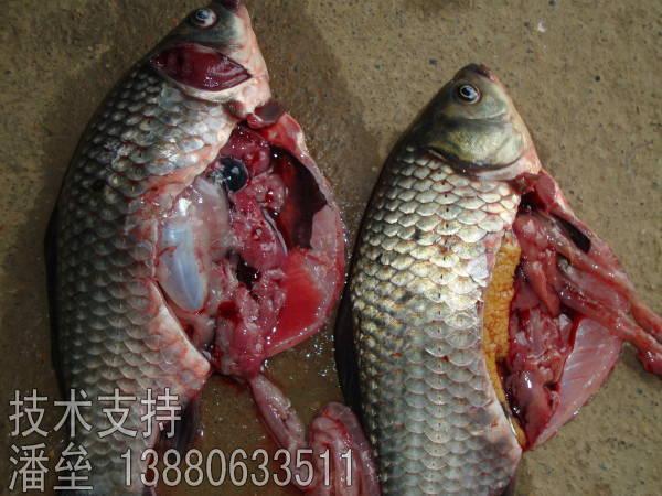 江苏盐城鲫鱼养殖大红鳃病爆发及应对方法