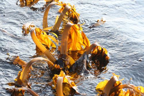 中��科�W院海洋研究所成功培育海��新品系