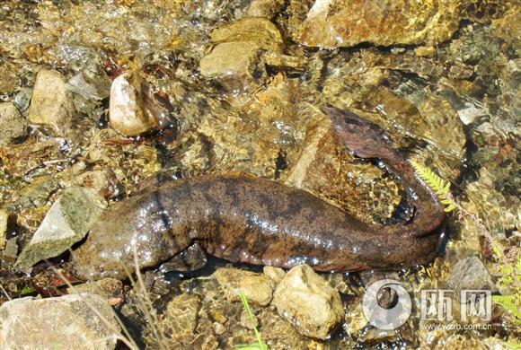 厂家两栖蛇娃娃鱼蝾螈鲵580_390玩具动物糖果在哪里图片
