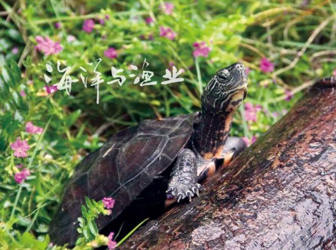 黑 颈 乌龟 俗名 泥 龟 臭 龟 广东 草 龟 广东 乌龟 等 ...