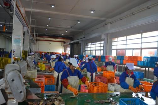 虾夷扇贝捕捞船在海洋牧场耕耘 &nbsp&nbsp&nbsp&nbsp国庆期间,獐子岛海产品市场反应良好。据了解,獐子岛虾夷扇贝等鲜活海珍品订单量激增,能达到以往的双倍。为保障节日市场供应,在獐子岛海洋牧场每日有20多条大马力虾夷扇贝捕捞船耕耘在底播区域,十多条新型玻璃钢潜水船也在根据市场订单需求采捕鲍鱼、海胆、海螺等海珍品,在提升产量的同时,确保产品质量不减。捕捞上来的虾夷扇贝等海珍品通过活水运输船在第一时间运抵獐子岛金贝广场进行分选,再通过冷链物流运输车在最快时间内运送到各销售终端。
