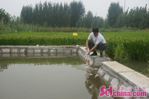 """""""鱼稻共生""""生态种养殖模式在山东济南试验成"""