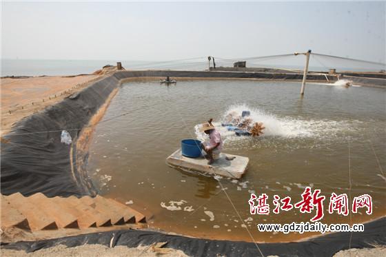 广东湛江东海岛南美白对虾:复产在艰难中起步