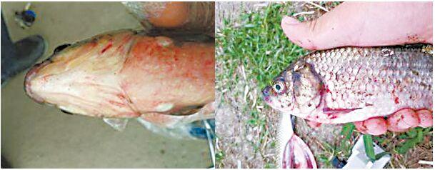 鲫鱼脑部结构图