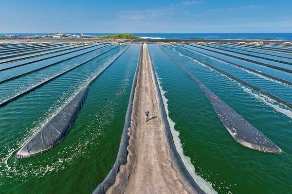 南美白虾淡化养殖模式+