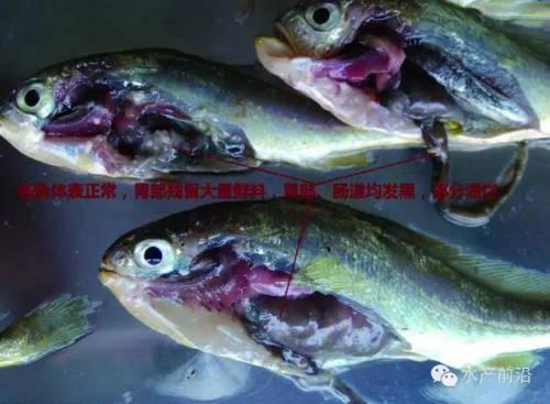 2015年上半年福建宁德网箱养殖大黄鱼主要病害调查