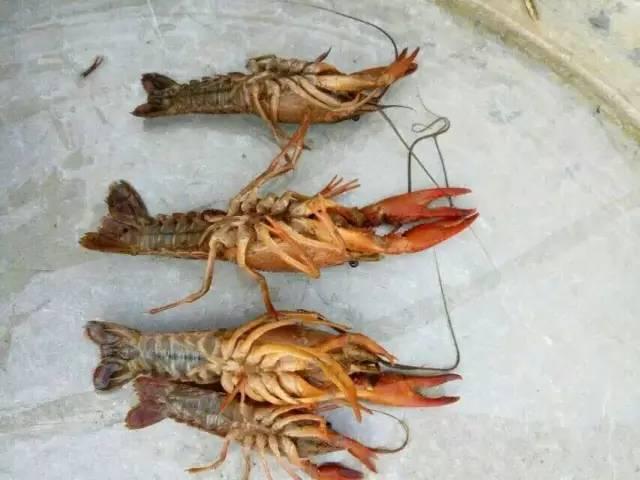 小龙虾水肿病怎样治疗_小龙虾过敏怎么治_小龙虾的疾病治疗