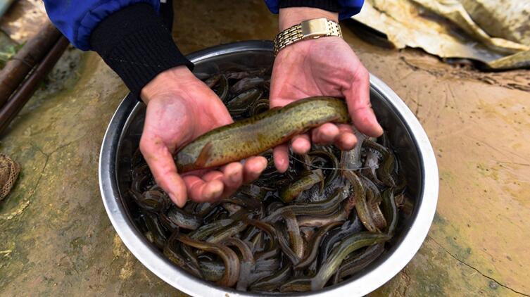 科技达人 的泥鳅养殖经