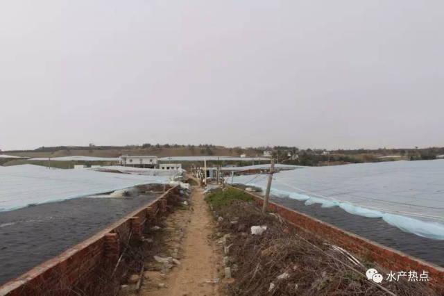 湛江东海岛独钟冬棚虾,南美白对虾养殖火爆但红体成患